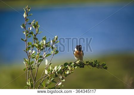 Siberian Stonechat Sits On A Green Branch Of A Bush In The Altai Republic, Russia
