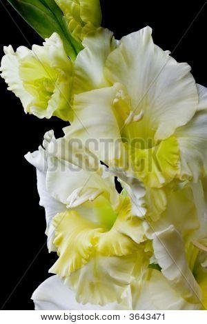 Yellow Gladiolus