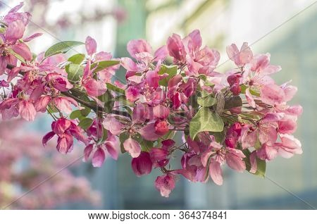 Beautiful Flowers On A Tree Branch. Spring Background. Blossom Tree