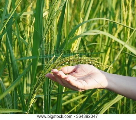 Woman Hands Holding The Young Rice Spikes In The Rice Field