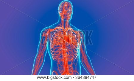 3d Illustration Human Heart With Circulatory System Anatomy For Medical Concept