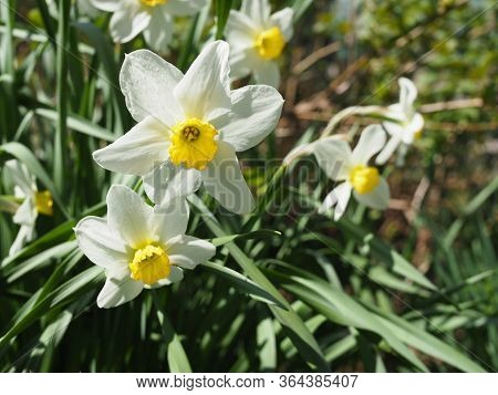 Narcissus Flower. Narcissus Daffodil Flowers And Green Leaves Background.