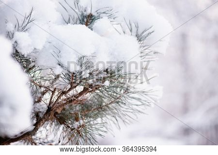 Snow On The Branches Of Spruce. Spruce Branch On Winter Day.large Blue Spruce Branch With Snow. Wint
