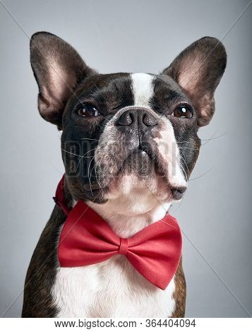 Portrait Boston Terrier Pure Breed Soft Grey Background With Red Bow Tie Closeup