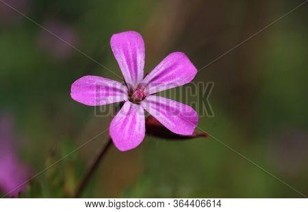 Macro Image Ofa Single Tiny Pink Wild Flower Of Geranium Robertianum. Also Known As Herb-robert, Sto