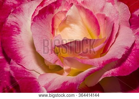 Macro Red Yellow Rose. Flower Red Yellow Colours. Spring Red And Yellow Rose Flower In The Garden. R