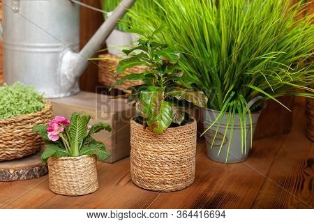 Croton Houseplant In Straw Pot On The Wooden Floor. Collection Of Various Home Plants In Different P