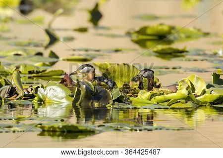 Red Necked Grebe Swims With Plants In Its Beak For Buiding A Nest On Fernan Lake In Idaho.
