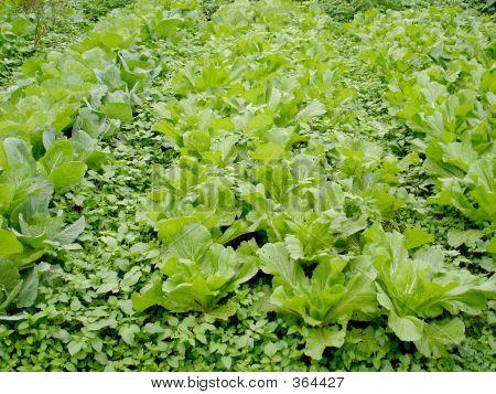 Garden Of Cabbage