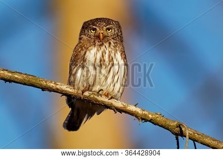 Eurasian Pygmy-owl - Glaucidium Passerinum Sitting On The Branch With The Prey In The Forest In Summ