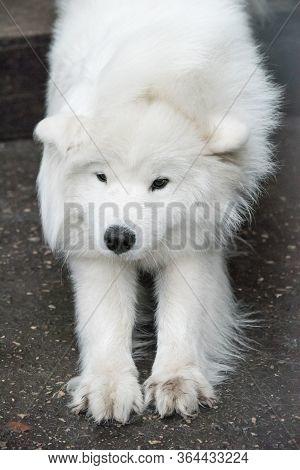 Samoyed Big Fluffy Happy Dog After Shedding Wool