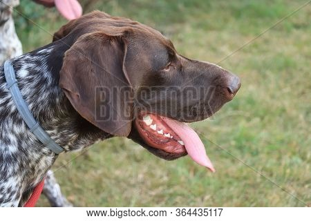 German Shorthaired Pointer, 1 Year Old Male Dog, Liver And White Ticked Coat