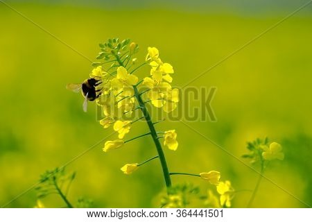 The Bumble Bee (bombus Terrestris) Sits On A Bright Yellow Canola Flower (brassica Napus),  Gathers