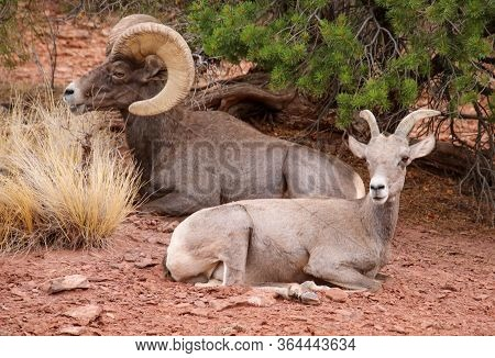 A Ram And Ewe Are Resting In The Rocky Terrain Of The Colorado National Monument Near Fruit, Colorad