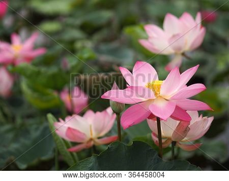 Water Lily Plantae, Sacred Lotus, Bean Of India, Nelumbo, Nelumbonaceae Name Flower In Pond Large Fl