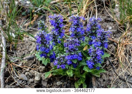 Ajuga Genevensis Stem With Blue Flowers. Herbaceous Flowering Plant Native To Europe.