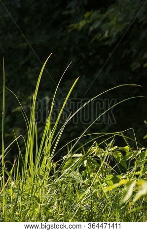 Long Green Grass On The Background With Black