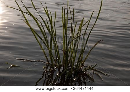 Long Green Grass On The Background With Dark Water