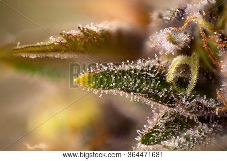 Macro detail of Cannabis flower trichomes (purple queen strain) vith visible resin glands, medical marijuana concept