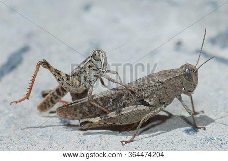 Canarian Grasshoppers Calliptamus Plebeius Copulating, Cruz De Pajonales.