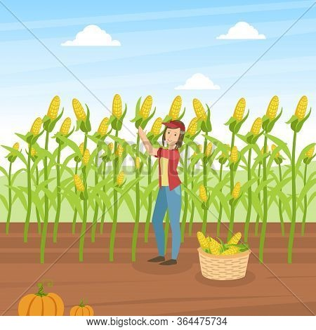 Girl Farmer Collecting Corn, Agricultural Worker Standing On Background Of Corn Field With Basket Fu