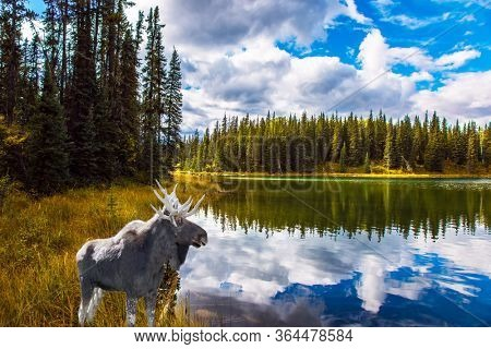 Canadian moose grazes by the lake. The Bighorn Highway in the Canadian Rockies. Cold cloudy autumn day. The concept of ecological, active and photo tourism
