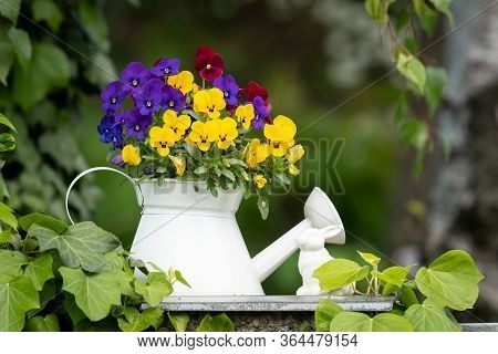 Closeup Of Garden Pansies (viola Wittrockiana) In A White Flower Pot, White Watering Can