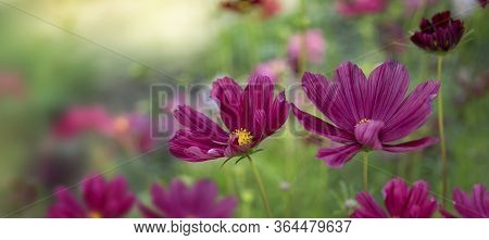 Nice Color Cosmea In Soft Color And Blur Style For Background