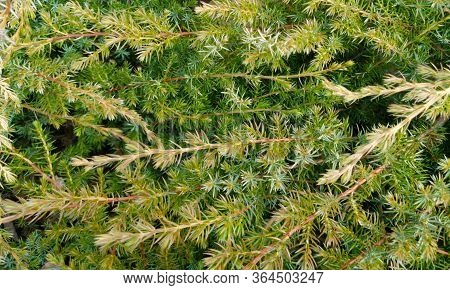 Branches Of A Juniper. Fon. Beautiful Background. Banner.