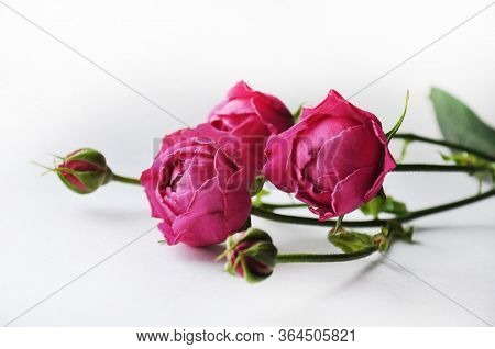 Beautiful Pink Pion-shaped Rose.bouquet  Pink Shrub Roses.