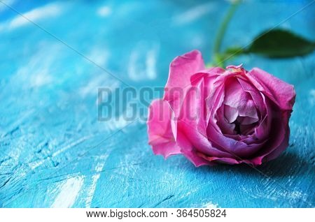 Beautiful Pink Pion-shaped Rose On Blue Background. Copy Space