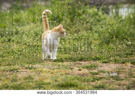 Redhead Kitten Playing On The Grass In The Yard. Cat Catches Mouse. Cute Kitten Playing In The Yard