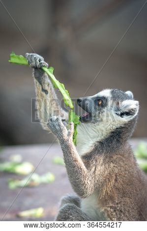 The Ring-tailed Lemur Lemur Catta In Beijing Zoo
