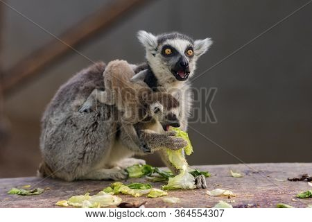 Beijing / China - April 10, 2016: The Ring-tailed Lemurs (lemur Catta) At The Beijing Zoo