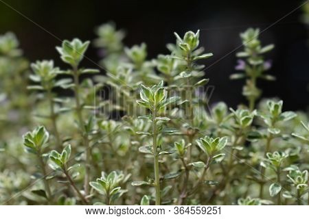 Lemon Thyme Lady D - Latin Name - Thymus X Citriodorus Lady D