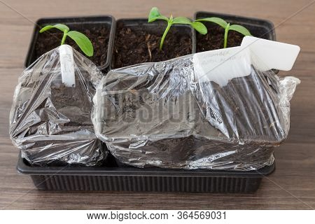 Cucumber Seedlings Alongside Cucumber And Tomato Seeds Which Have Been Planted In Pots - Pots Wrappe