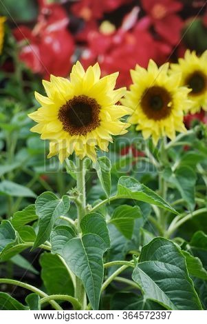 Helianthus Annuus, Small And Potted Sunflowers. Small Flower Size