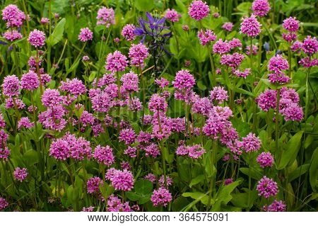 Field Of Wild Flowers In Bloom Include Purple Camas Lilies And Pink Lychnis Alpina, Also Known As Al
