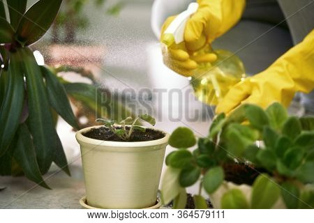 Female Gardener Spraying Domestic Plants Leaves After Transplantation. Woman Takes Care Of The Plant