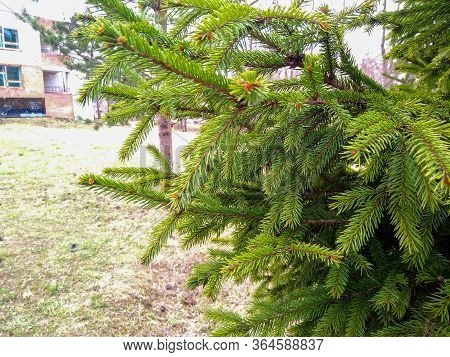 Spruce Branch. Beautiful Branch Of Spruce With Needles. Green Spruce. Spruce Close Up