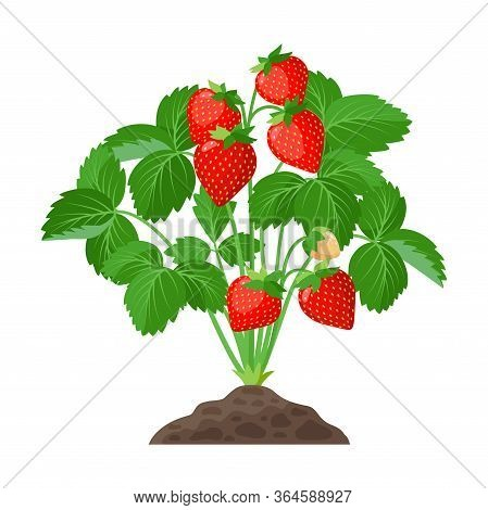 Strawberry Plant Growing In The Soil Full Of Ripe Strawberries, Red Fruits And Green Leaves - Vector