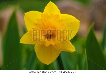 Yellow Daffodil Flower Close Up, Known As Narcissus Rupicola Dufour. Narcissus Is A Genus Perennial