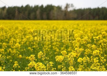 Yellow Rape, Rapeseed Or Canola Field. Rapeseed Field, Blooming Canola Flowers Close Up. Bright Yell