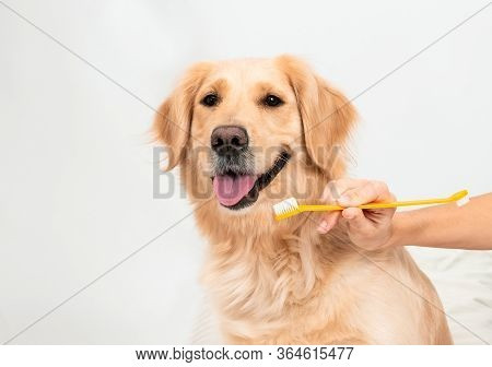 Female Hands Hold A Muzzle And A Toothbrush. Woman Brushing Teeth A Golden Retriever Dog With Toothb