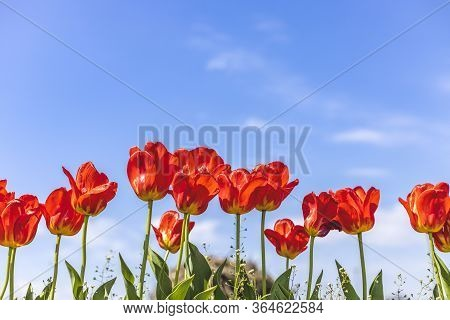 Bright Red Tulips On Blue Sky Background. Colorful Spring Composition