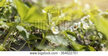 Beautiful Spring Strawberry Flowers. Green Field With White Strawberry With Ladybug. Closeup Of Spri