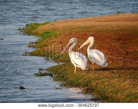 Migrating White Pelicans At University Lake, Near Louisiana State University, Baton Rouge, Louisiana