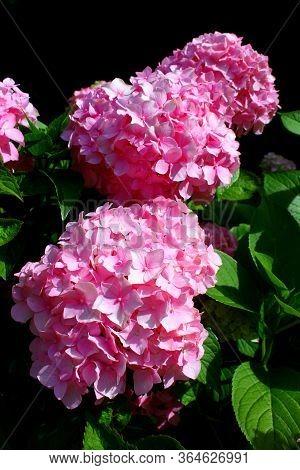 Hydrangea: Beautiful Flowers. Hydrangea Macrophylla - Beautiful Bush Of Of Pink Hydrangea Flowers