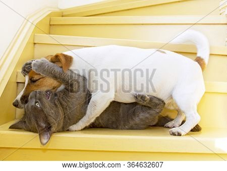 Jack Russell Terrier Plays With A Cat At Home On The Stairs, On A Sunny Day. Horizontal Format