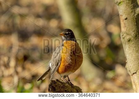 American Robin Looking For Food. American Robin Is The State Bird Of Connecticut, Michigan And Wisco